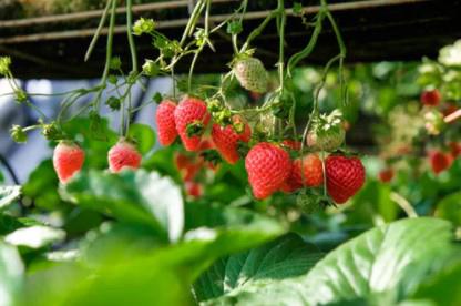草莓水肥一体化滴管施肥技术